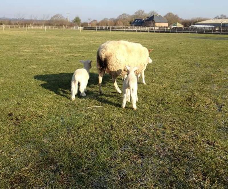 Nutley lamb